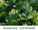 a green fresh celery plant...   Shutterstock . vector #1257873685