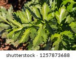 aerial view leaf  celery in the ...   Shutterstock . vector #1257873688