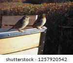 some sparrows on a chair | Shutterstock . vector #1257920542