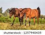 arabian horses in the meadow | Shutterstock . vector #1257940435