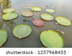 many giant lotus pad or giant...   Shutterstock . vector #1257968455