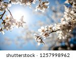 cherry blossom under the sun. | Shutterstock . vector #1257998962