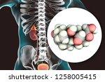 aldosterone hormone ... | Shutterstock . vector #1258005415