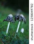 the shaggy ink cap | Shutterstock . vector #1258049782