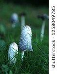 the shaggy ink cap | Shutterstock . vector #1258049785