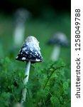 the shaggy ink cap | Shutterstock . vector #1258049788