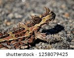 thorny devil australia | Shutterstock . vector #1258079425