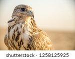 Falcon Resting But Sharp