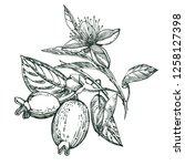 collection of feijoa fruit ... | Shutterstock .eps vector #1258127398