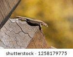 garden lizard. garden lizards... | Shutterstock . vector #1258179775