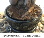 bonsai tree root close up... | Shutterstock . vector #1258199068