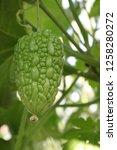 bitter gourd hang on hedge in... | Shutterstock . vector #1258280272