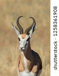 Small photo of A Springbok (Antidorcas marsupialis) close up, Kalahari desert, South Africa
