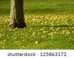 Yellow Apples On An Orchard...