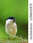 marsh tit  poecile palustris ...   Shutterstock . vector #1258631875