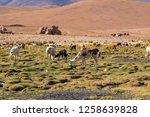 llamas  lama glama  early in... | Shutterstock . vector #1258639828