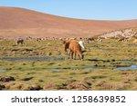 llamas  lama glama  early in... | Shutterstock . vector #1258639852