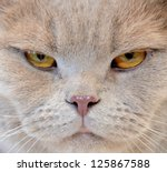 Stock photo portrait of angry cat close up 125867588