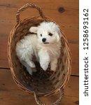 maltese puppy in a basket | Shutterstock . vector #1258693162