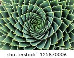 Spiral Aloe Aloe Polyphylla