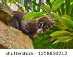 exemplary of coat   nasua... | Shutterstock . vector #1258850212