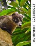 exemplary of coat   nasua... | Shutterstock . vector #1258850215
