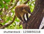 exemplary of coat   nasua... | Shutterstock . vector #1258850218