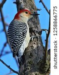 The Red Bellied Woodpecker ...