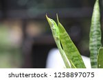 green anole lizard clinging to... | Shutterstock . vector #1258897075