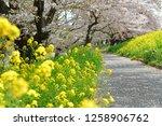 sakura blossoms at kumagaya... | Shutterstock . vector #1258906762
