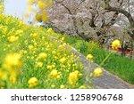 sakura blossoms at kumagaya... | Shutterstock . vector #1258906768