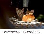 tow little cat get sick their...   Shutterstock . vector #1259022112