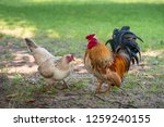 Rooster And Hen Find Food In...