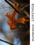 isolated leaf during the autumn ... | Shutterstock . vector #1259374528
