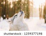Husky Dog On Snowy Field In...