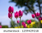 pinky tulip  pink tulips ...