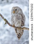 Stock photo owl in snow ural owl in snow attractive winter scene with beautiful owl unique owl portrait 1259470102