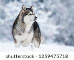 Alaskan Malamute Dog On A...
