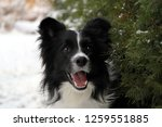 Stock photo border collie looking 1259551885