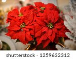 bright and beautiful poinsettia ... | Shutterstock . vector #1259632312