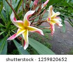 frangipani flowers in the... | Shutterstock . vector #1259820652