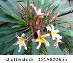 frangipani flowers in the... | Shutterstock . vector #1259820655