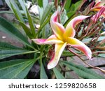 frangipani flowers in the... | Shutterstock . vector #1259820658