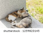 young cat lick her mother for... | Shutterstock . vector #1259823145