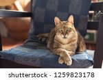 fat domestic cat sit on the... | Shutterstock . vector #1259823178
