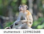 the crab eating macaque  macaca ... | Shutterstock . vector #1259823688