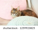playful maine coon cat hiding... | Shutterstock . vector #1259923825