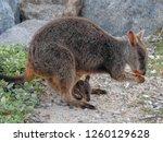 Rock Wallaby On Magnetic Islan...