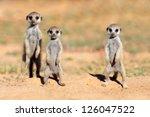 Cute Meerkat Babies  Suricata...