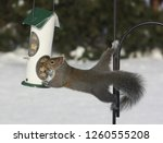 A Gray Squirrel Stretches To...